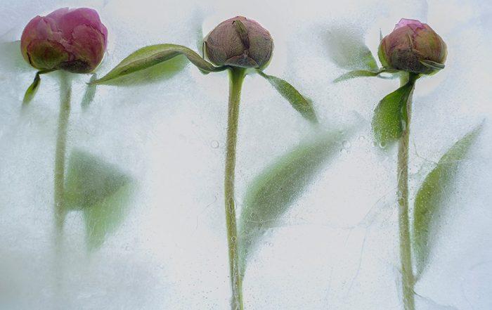 flowers in ice
