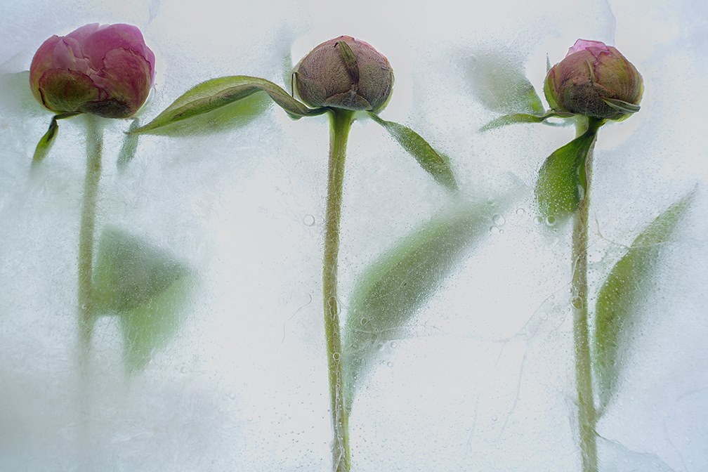 flowers in ice